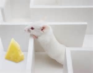 rat cheese maze pic